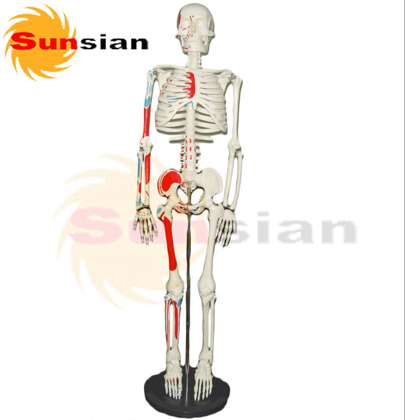 85cm skeleton with muscle markings on half body  factory supply good news factory price human skeleton model with colored muscle of half body