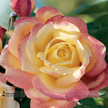 1 Professional Pack, 50 seeds / pack, New Bella Roma Rose Bush Plant Seeds #A00210