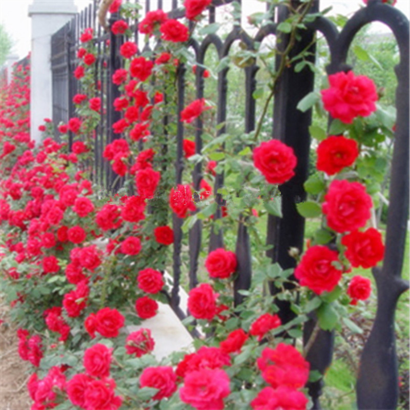buy red climbing plant polyantha rose seeds 30 seeds diy home garden courtyard. Black Bedroom Furniture Sets. Home Design Ideas