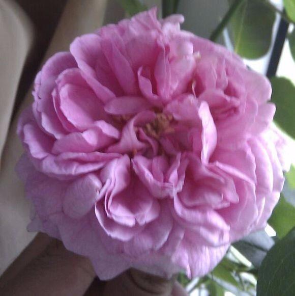 Austria Cut 100PCS New Varieties Of Water Than Red Rose