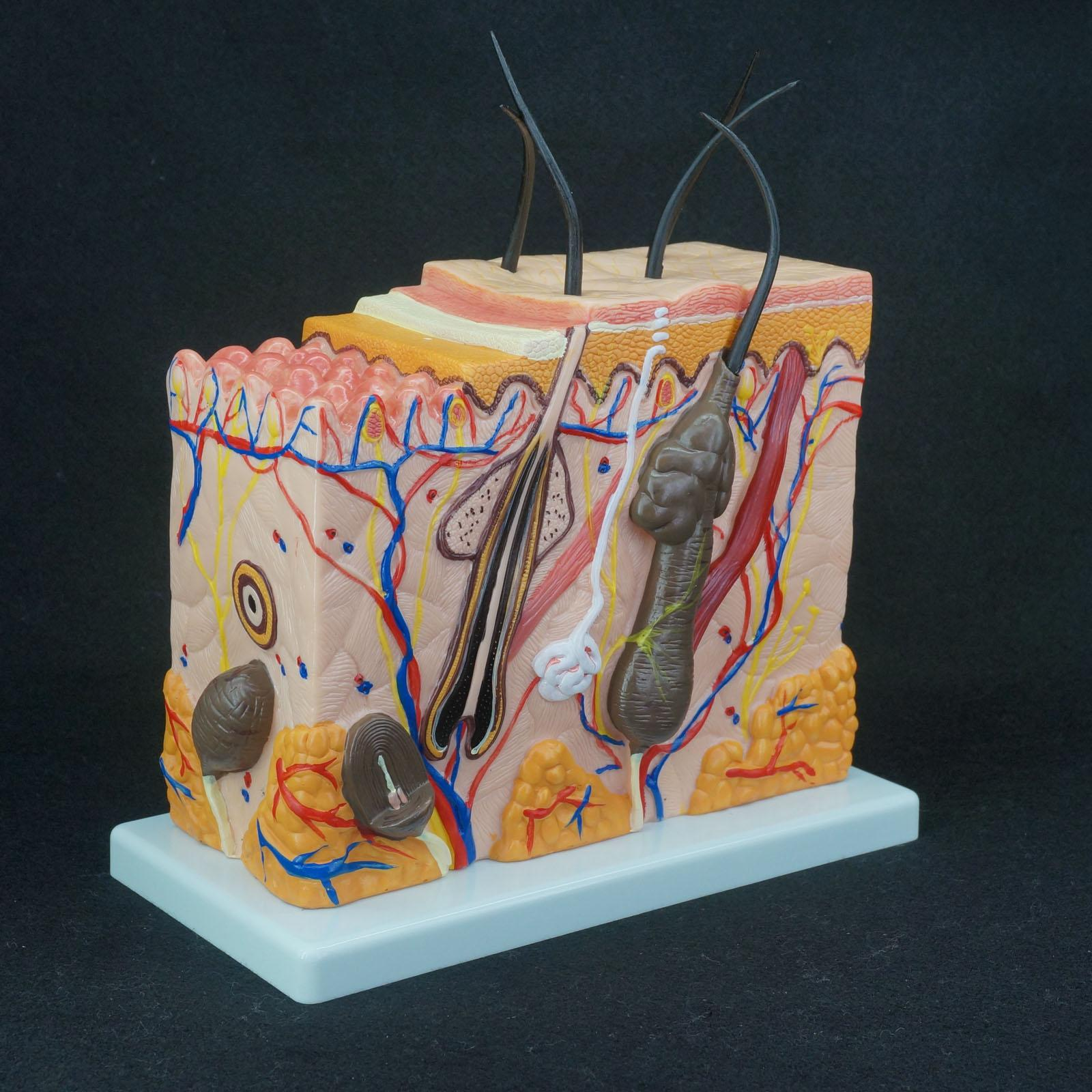 70X Life Size Anatomical Human Skin Block Model Medical Dermatology Anatomy skin model dermatology doctor patient communication model beauty microscopic skin anatomical human model