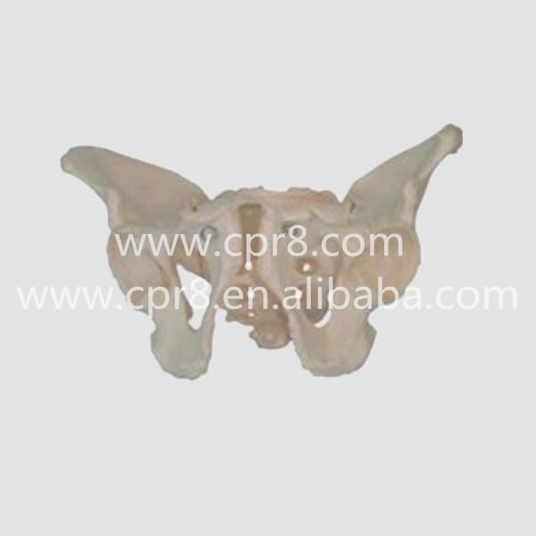 BIX-A1023 Life Size Pelvic Skeleton Models Male Adult Pelvis Model  G073 plastic standing human skeleton life size for horror hunted house halloween decoration