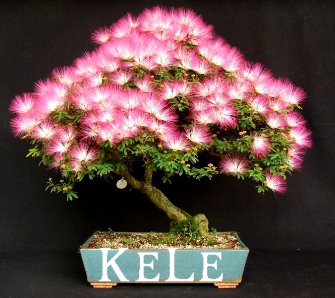 New Arrival 2015!! 20 Seeds/pack bonsai Albizia Flower seeds called Mimosa Silk Tree ,flower potted plants For Garden Home
