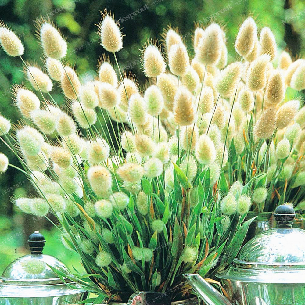Grass Seeds Bunny Tails Grass Lagurus Ovatus Tropical Ornamental Plants Bonsai Flower Seeds Decorate Home Garden 100 Pcs
