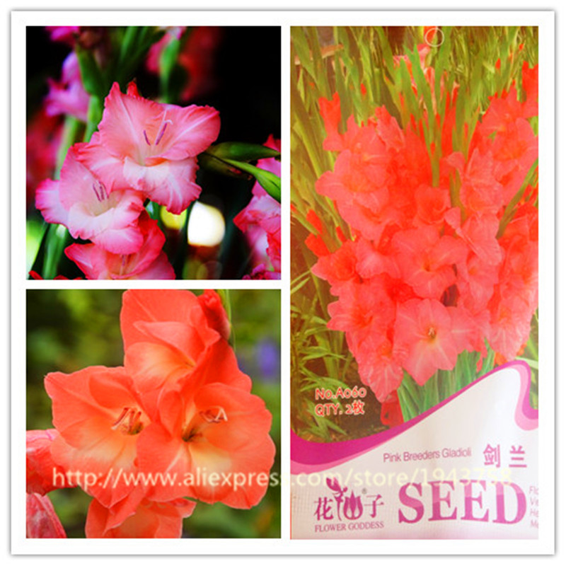 News The Benefits of Growing Your Own Apple Tree 1bag-2pcs-Original-Package-Pink-Breeders-Gladioli-Flower-DIY-Home-Garden-Plant-Earth-showing-a-beautiful