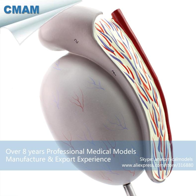 12429 CMAM UROLOGY09 Genito Urologische System Modell Hoden Modell ...