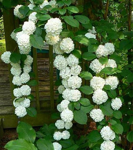 20Pcs Mixed Hydrangea Paniculata Vanilla Fraise Strawberry Hydrangea Bonsai Flower Climbing Plant For Home Garden