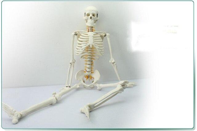 85 CM menschliches skelett modell mit Rücken nerven und knochen ...
