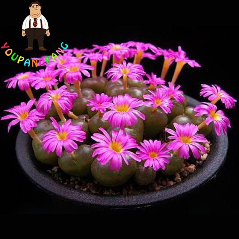 100 Pieces New Exotic Living Stones Succulent Semillas, Cactus Succulents Seeds Echinopsis Tubiflora, Rare Flower Cactus