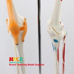 Image 5 - 170 CENTIMETRI Scheletrico Umano Modello Neuromuscolare di Avviamento e Arresto Colorato Legamento Scheletro di Yoga di Insegnamento Medico MGG301
