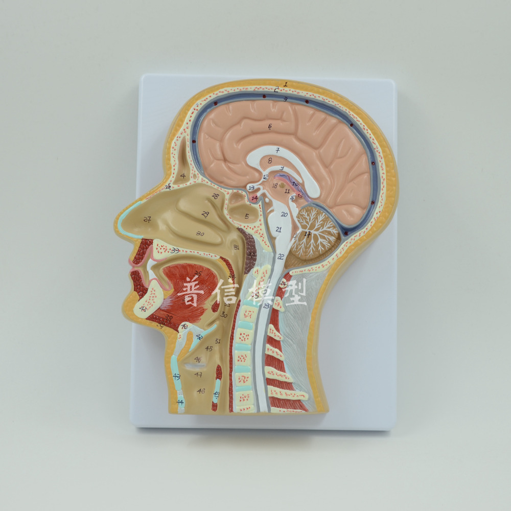 DongYun brand human brain anatomica model Head median sagittal plane model Medical skeleton teaching supplies