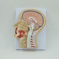 Human Brain Anatomica Model Head Median Sagittal Plane Model Medical Science Teaching Supplies