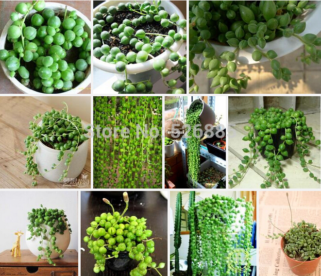 Aliexpress.com : Buy Pearl Chlorophytum, Chlorophytum Beads, Hanging Type  Of Chlorophytum, Spider Plants Potted Plant Potted Absorb Formaldehyde From  ...