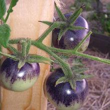20  Blue Tomato Seeds ~Organic Vegetable Garden Plant