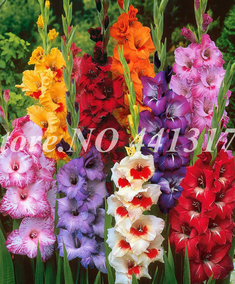 Garden Supplies 50pcs Rare Striped Gladiolus Sword Lily Garden Plantas Flowers Orchid Gladiolus Bonsai Plants Gandavensis High Survival Rate In Many Styles