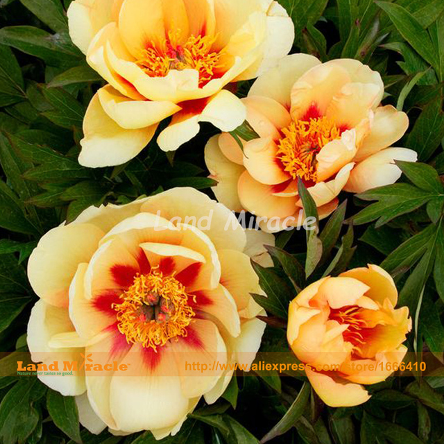 Yellow Chinese Peony Seeds tree peony fragrant garden flowers
