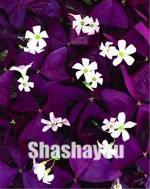 Oxalis Acetosella Fiore Oxalis Viola Shamrock Clover 100% Reale Del Fiore Bonsai pianta Perenne per Esterni per il Giardino di Casa 100 pz
