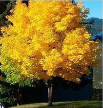 45 seeds yellow maple tree live seed Home Garden Norway maple gold tree seeds good bonsai price will up soon