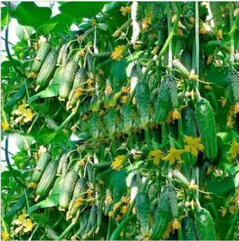 50 Seeds Cucumber Titus F1 Organically Grown Russian Pickling Vegetable NON-GMO