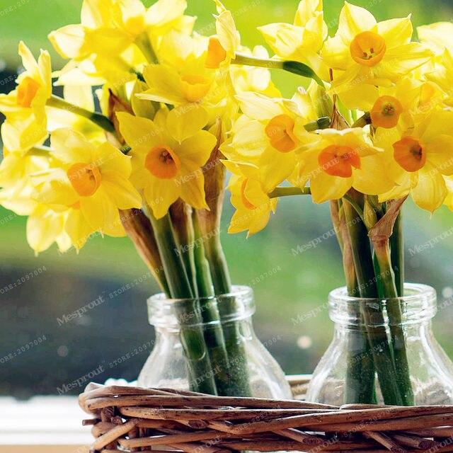 Tienda Online Verdaderos Bulbos de narcisos Narciso bulbo Bonsis