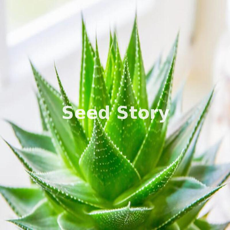 High quality aloe vera seeds rare herbs seeds tree seeds 7 uncommon indoor plants