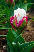 10 PCS Cabbage tulip seeds