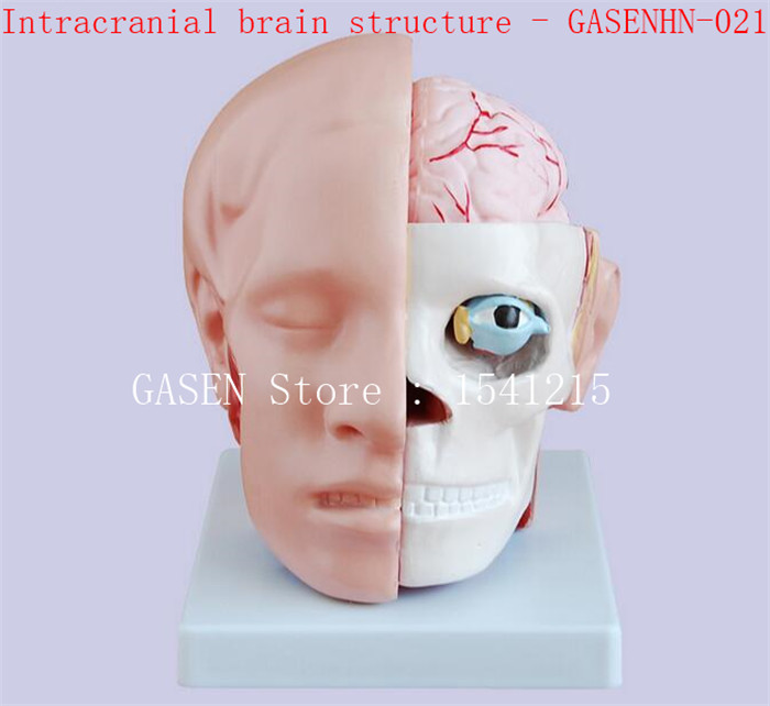 Brain model Head with cerebral artery model Human head anatomical model Intracranial brain structure - GASENHN-021 head and brain artery model iso brain anatomical model head anatomical model