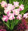 Piezas 100 unidades bonsái Narciso, daffodil flor absorción radiación plantas acuáticas pétalos dobles Narciso planta de jardín