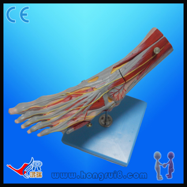 ISO Advanced Muscle of Foot with Main Vessels and Nerves, foot anatomy model foot model human foot palm muscle model arch foot model foot anatomy