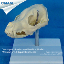 CMAM-A19 Life Size Dog Head Anatomy / Canine Skull Model – Medical Veterinary Anatomy