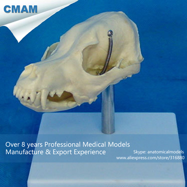 Cmam A19 Life Size Dog Head Anatomy Canine Skull Model Medical