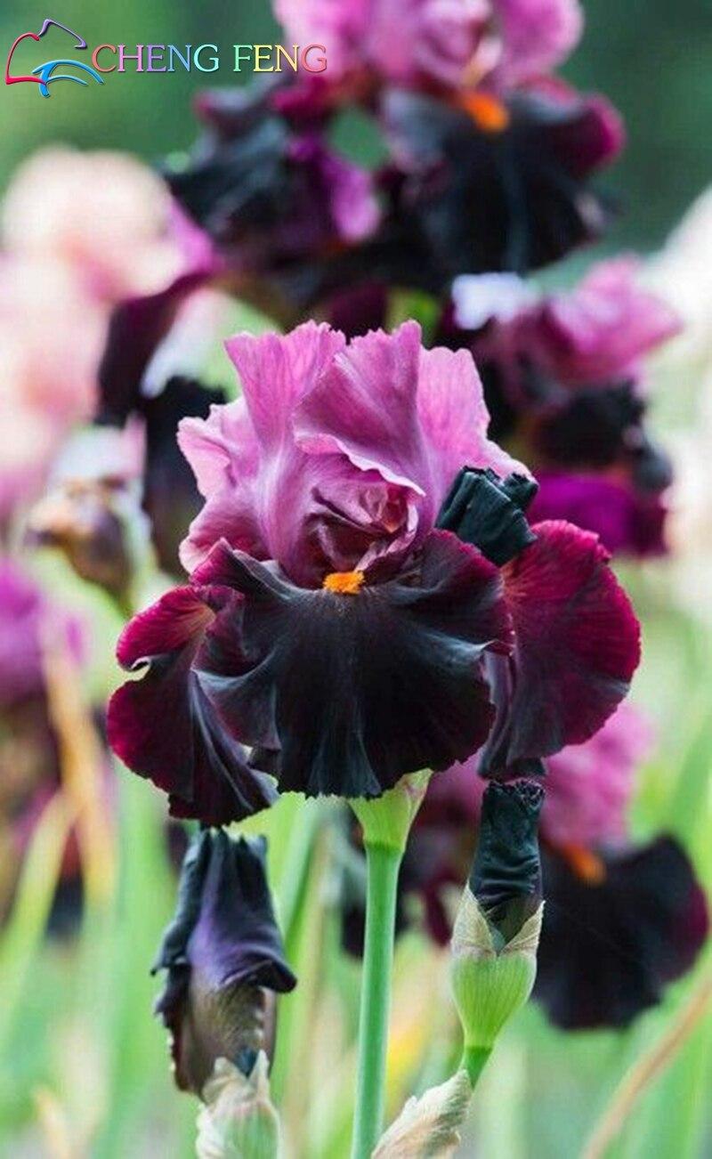 Hot 30pcs iris seeds iris orchid seeds perennial rare tectorum photos list izmirmasajfo
