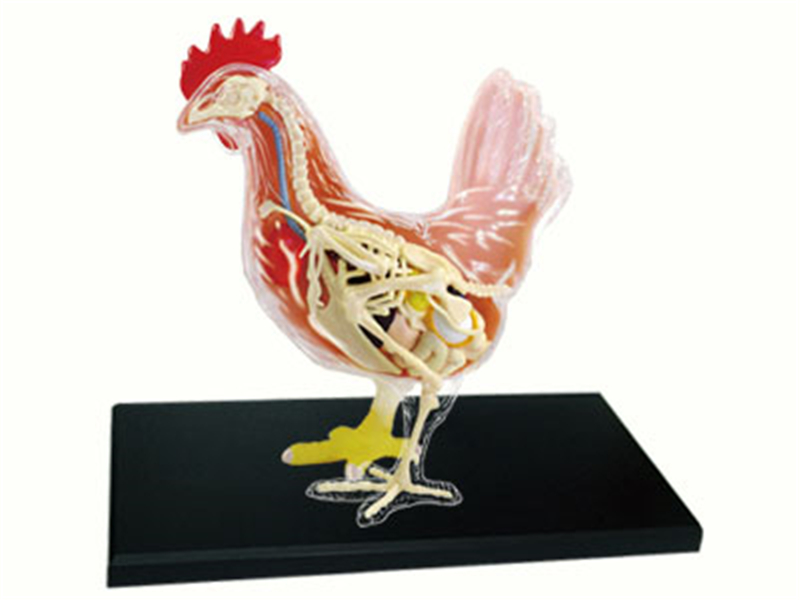 Chicken 4d master puzzle Assembling toy Animal Biology organ anatomical model medical teaching model shunzaor dog ear lesion anatomical model animal model animal veterinary science medical teaching aids medical research model