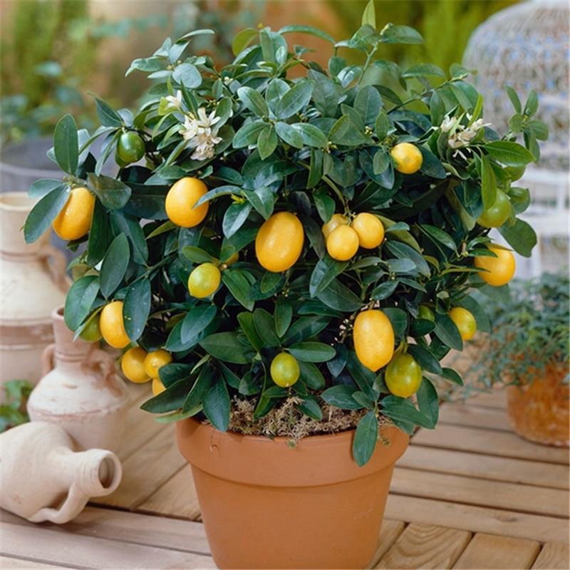 100 Pcs Dwarf Limon Tree Lemon Exotic Garden Fruit Potted Bonsai Tree Houseplants Can Be Eaten, For Home Garden DIY Planitng
