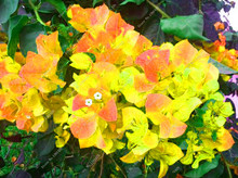 100pcs Bougainvillea Tree Seeds