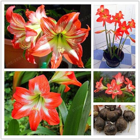 2 Bulbs Amaryllis Bulbs True Orange Hippeastrum Bulbs Flowers Barbados Lily Potted Home Garden Balcony Plant Bulbous
