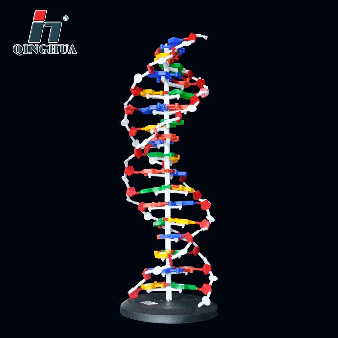 60 centimetri Struttura del DNA di Base del Modello Coppia Genetica Gene Modelli di Dna A Doppia Elica del DNA Biologia Insegnamento Educativo Attrezzature Forniture