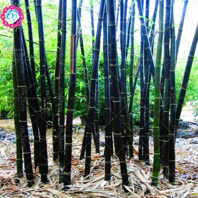 40pcs Fresh Bamboo Seeds Rare Giant Black Moso Natural Bambou Professional Pack Bambusa Lako