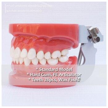 DH/13001, Movable 28pcs Teeth Hard Gum Wax Fixed Standard Dental Model, Dental Department