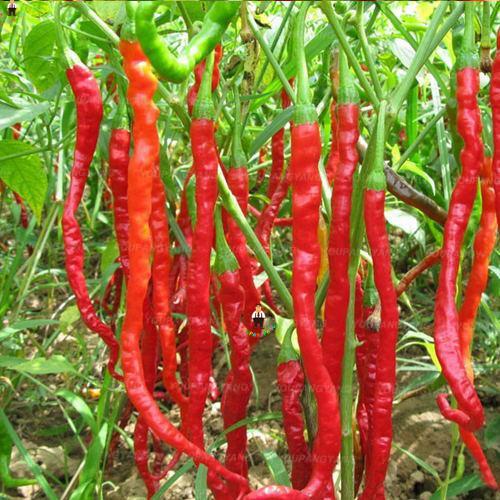 200pcs/bag Extremely Hot ! Chilli Pepper Vegetable Organic Sweet paprika chili bonsais bonsai plants home garden