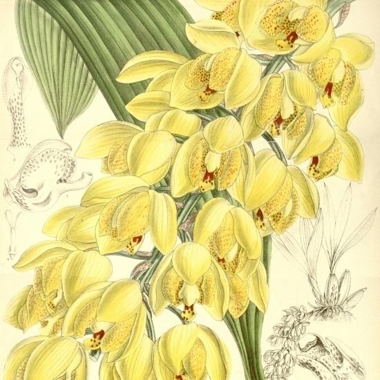 Yellow flower illustration of Acineta Densa Poster Print (24 x 36)