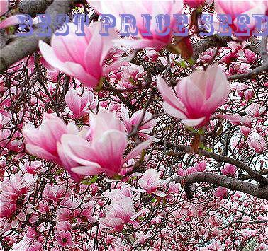 Rare genie pink yulan magnolia tree flower bonsai professional pack rare genie pink yulan magnolia tree flower bonsai professional pack 10 plants pack jane magnolia tree light fragrant garden mightylinksfo