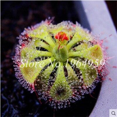 Big Sale ! 100 Pcs Bonsai Potted Insectivorous Bonsai Plant Blue Dionaea Muscipula Carnivorous Giant Clip Venus Flytrap Plant