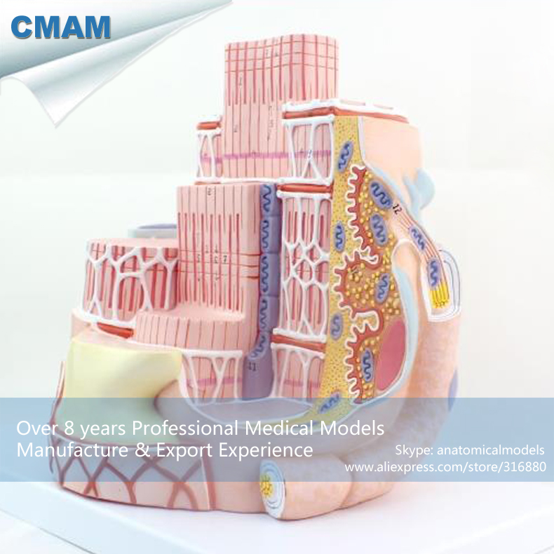 CMAM-HEART19 Anatomy Model General Structure Of Skeletal Muscle, Medical Science Educational Teaching Anatomical Models anatomy of a disappearance