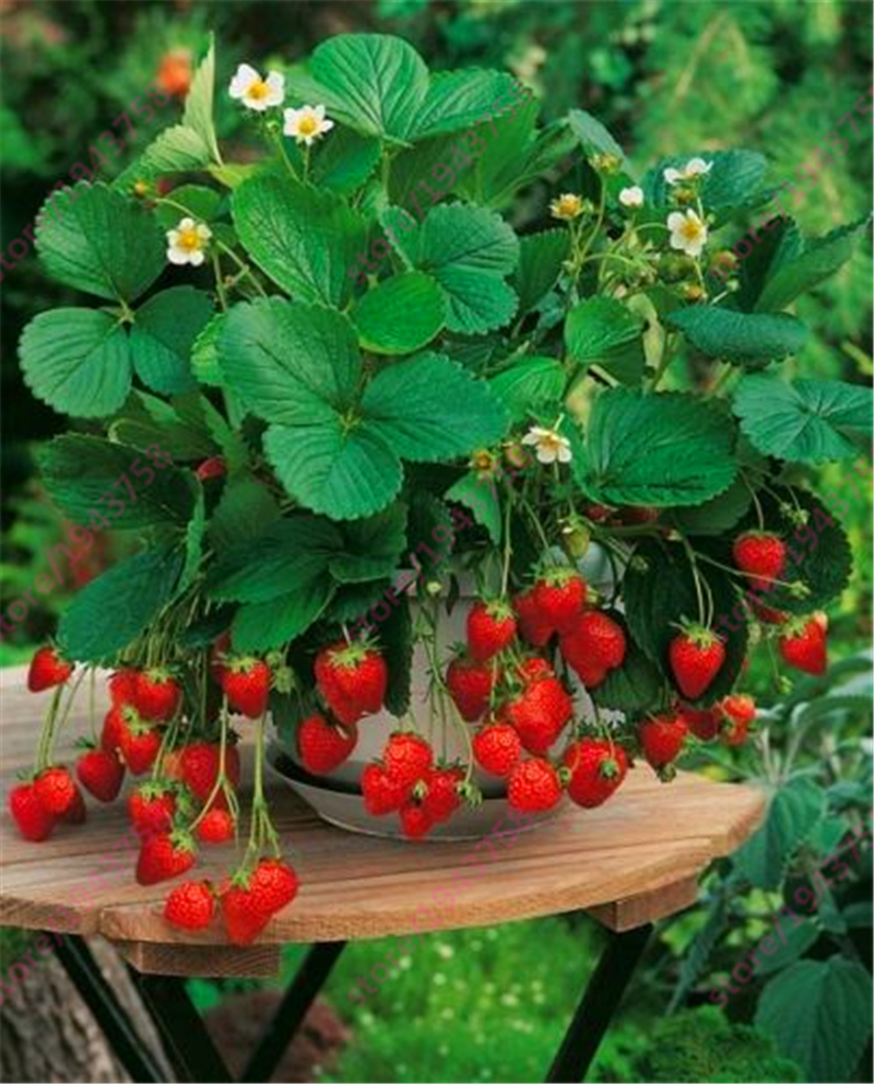 Wild Strawberry Plants Promotion-Shop for Promotional Wild ...