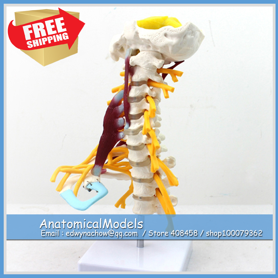 ED-VERTEBRA02 Cervical with Muscles and Nerves Model,  Medical Science Educational Teaching Anatomical Models voluntary associations in tsarist russia – science patriotism and civil society