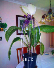 Genuine!100seeds/Bag Fresh Rare Tacca Integrifolia Seeds Easy Planting flower semillas,#MGU86L