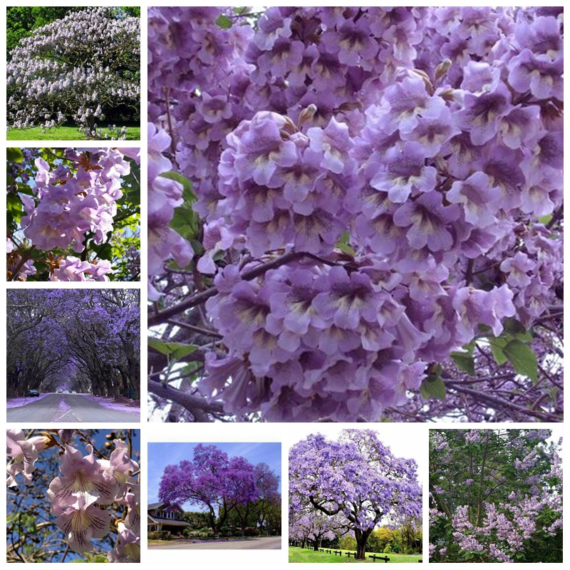 1000 pcs/ bag Bonsai Paulownia Outdoor Royal Empress Flore Tree Plants Home Garden Potted Plants for Flower Pot Planters(China)