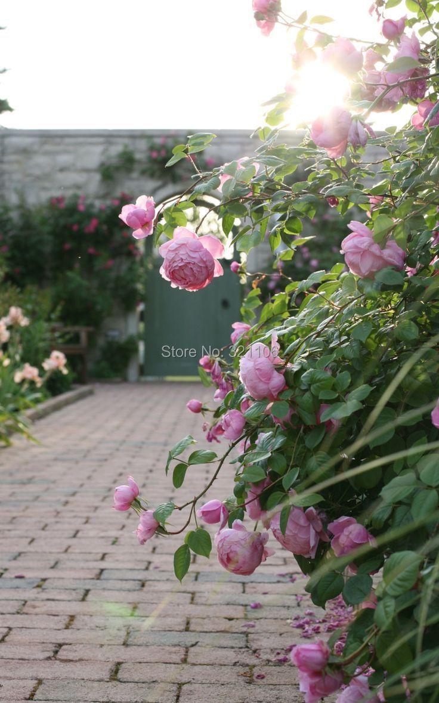 100 Pink Climbing Roses Seeds Semenatsvety Perennial Garden Bonsai