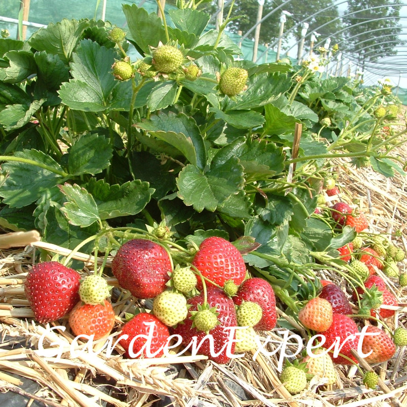 200pcs Potted Strawberry Seeds ABZs Four Seasons Strawberry Tarpan F1 Seeds Fruit Seeds Home Garden Potted Plant DIY